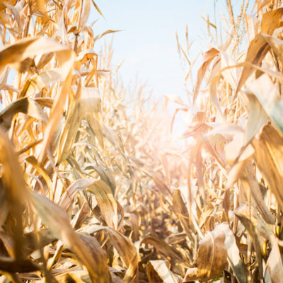 cornfield1_lens_flare_watermarked_web_2