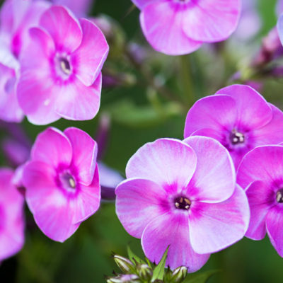 Phlox Flower Stock Image
