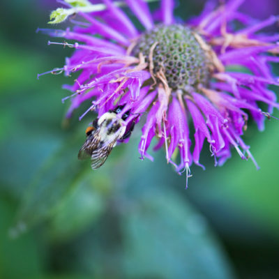Stock Image - Bee Balm with Bee-watermarked